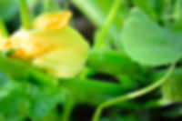 yellow-zucchini-flower-and-green-leaves-