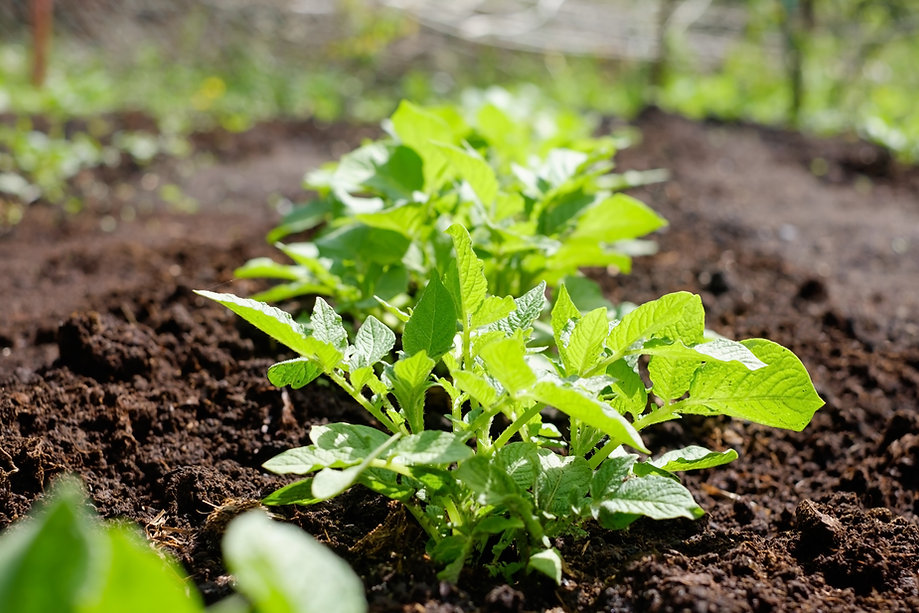 green-potato-plant-leaf-of-vegetable-org