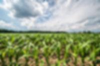 corn-field-in-a-sun-3Y4TBGR.jpg