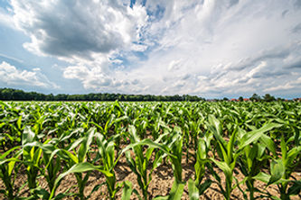 corn-field-in-a-sun-3Y4TBGR.jpg