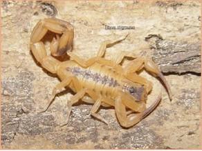 Saúde informa acidente com escorpião amarelo no Centro Histórico