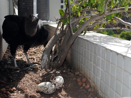 Em Porto Alegre: Secretaria alerta para locais mais procurados por urubus para fazer ninhos