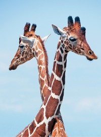 Did you know that a Giraffe and a human both have 7 bones in their neck?