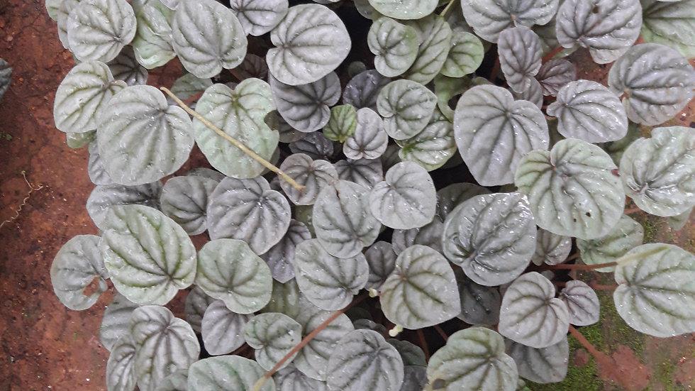 Pepperomia(white)