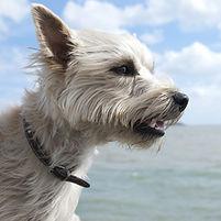 cairn-terrier-4849631_1920.jpg