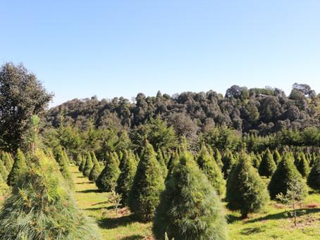 Mitos y realidades de los árboles naturales de Navidad