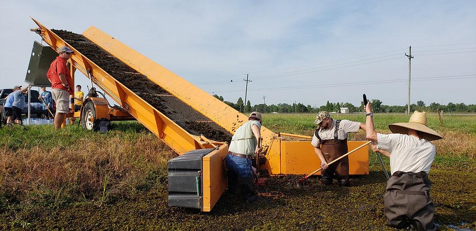 Weevil harvest.jpg