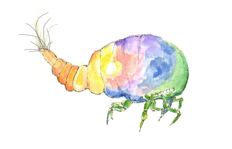Xenococcidae color-close.jpg