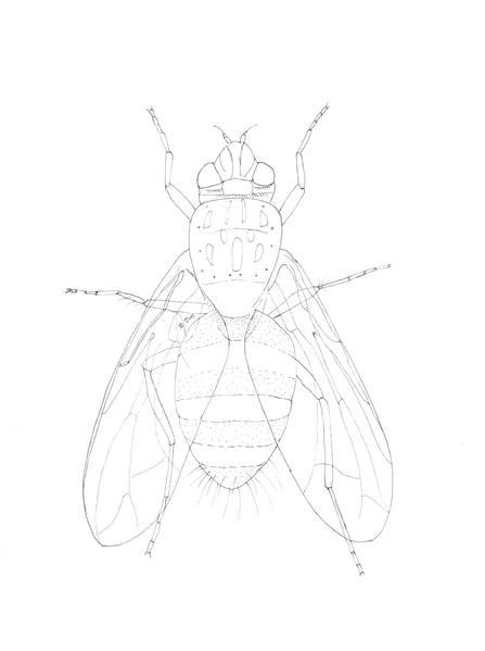 Tachinidae-LD.jpg