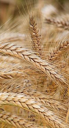 agriculture-barley-cereal-326082.jpg