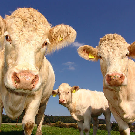 animals-bovine-close-up-33550.jpg