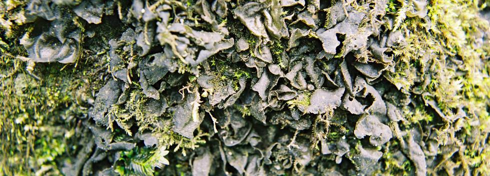 Collema flaccidum.jpg