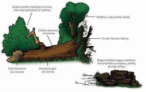 negyva mediena.jpg