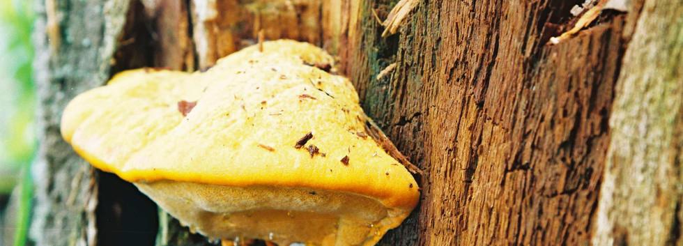 Hapalopilus salmonicolor - Copy.jpg