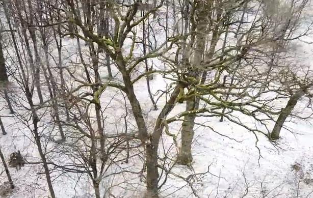 Planuojami ąžuolo tvarkymo darbai Kauno ąžuolyne