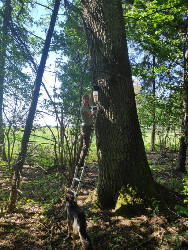 Ąžuolynuose – auksaspalvių vabalų mėnuo