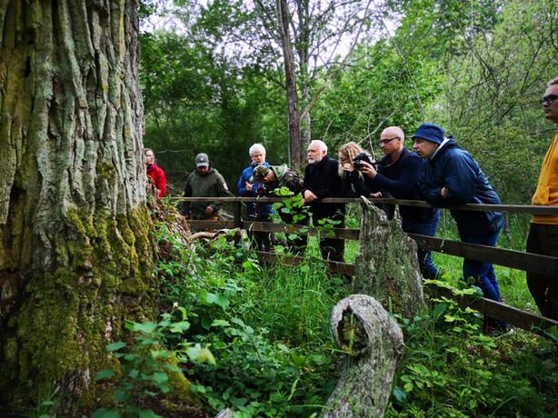Ko apie senų ąžuolynų apsaugą galima pasimokyti iš švedų?