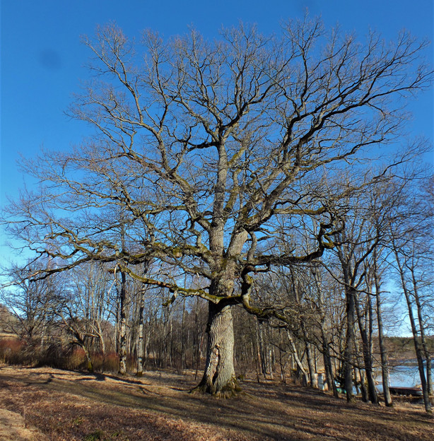 """Kviečiame į konferenciją """"Medžiai milžinai atvirame kraštovaizdyje"""""""