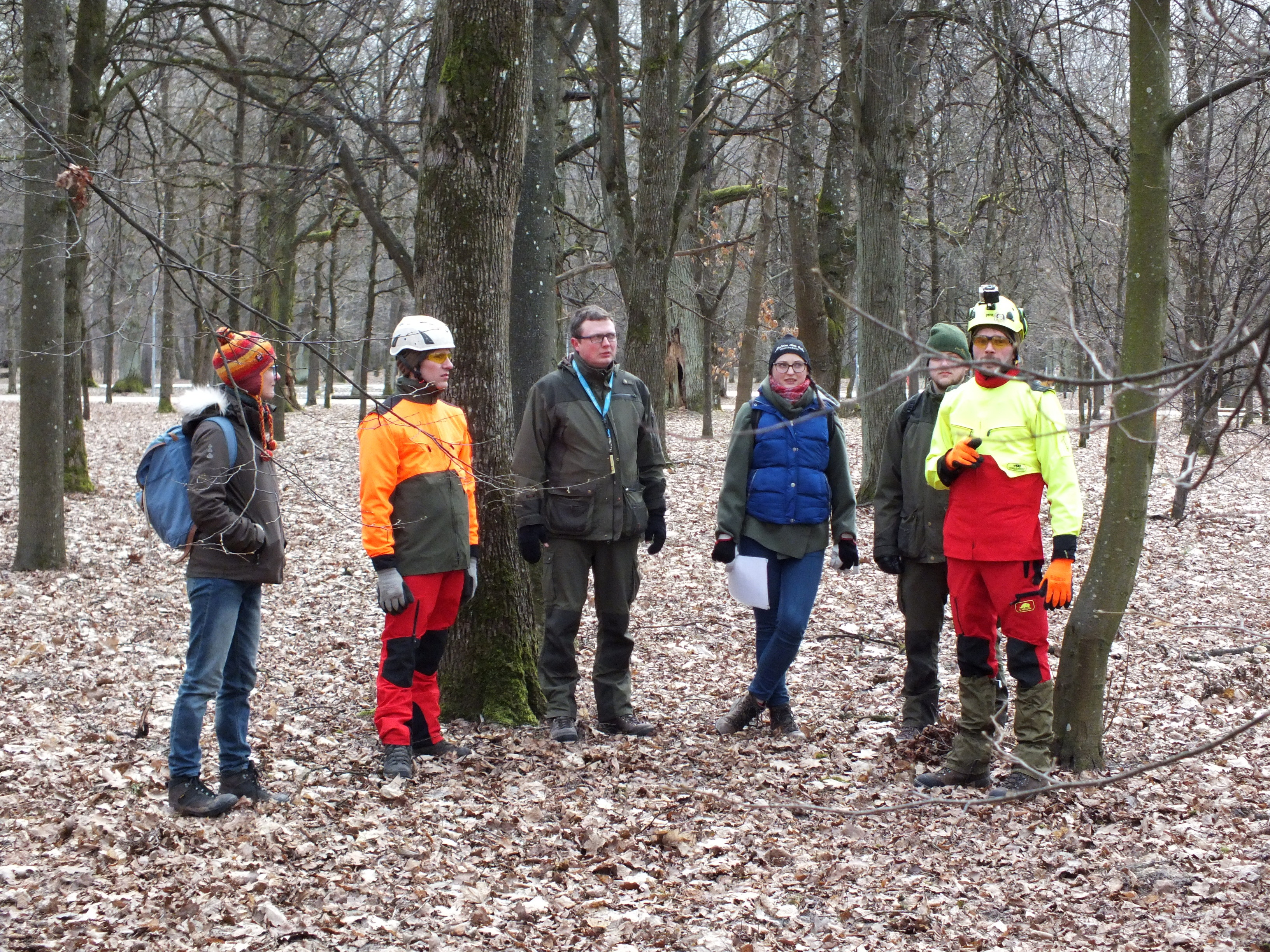 Old oak management works in Kaunas oak forest