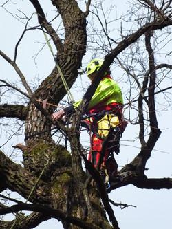 Old oak management works in Kaunas oak forest