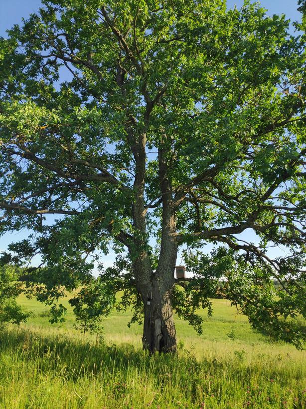 Kvietimas dalyvauti konkurse dėl ekologiniu požiūriu vertingų medžių tvarkymo paslaugų