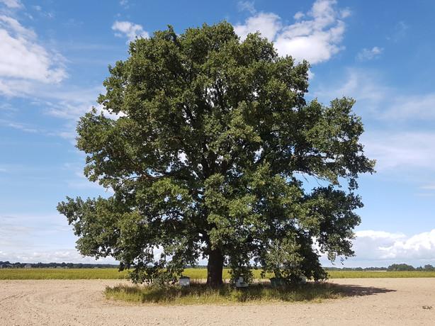 Gamtininkai per medžius milžinus tiesia  retoms rūšims kelią  nuo Vilniaus iki Kauno