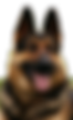 german shep c.png