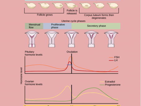 How the menstrual Cycle can affect your training?
