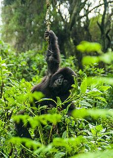 gorilas.jpeg