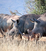 southern-white-rhinos.jpg