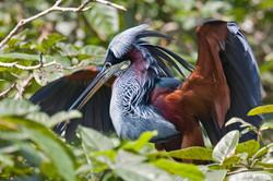 Agami herons