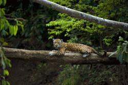 Jaguar Manu-Rob Williams_