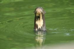 Lobo de río