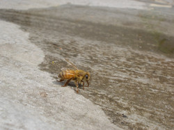 Why do honey bees like dirty water?