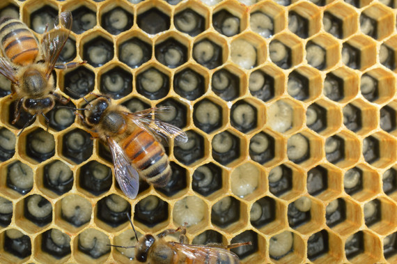 Honey bee immunity: more specific than we thought