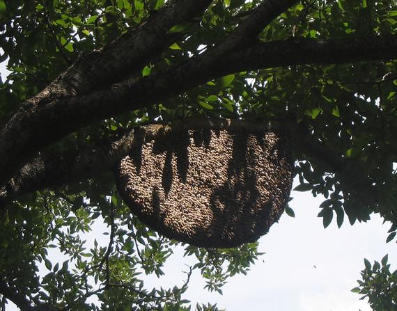 Decisive dancing in honey bees