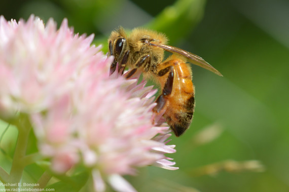 Honey bees drink dirty water as a nutrient supplement