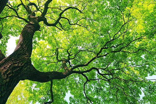 Gran árbol en perspectiva