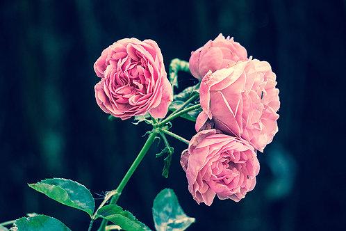 Fotomural vintage de rosas