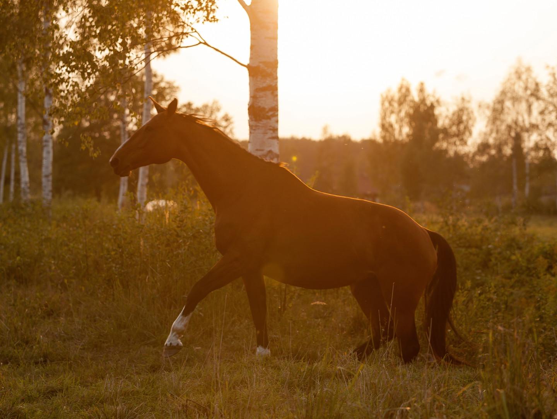 Mitau horses