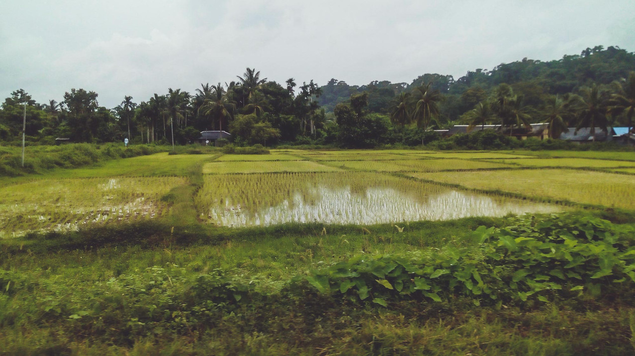 Paddy fields on both sides of the road while heading to the Pristine Resort, Diglipur.