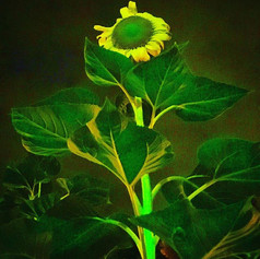 In the Midnight Moonlight  #sunflower #n