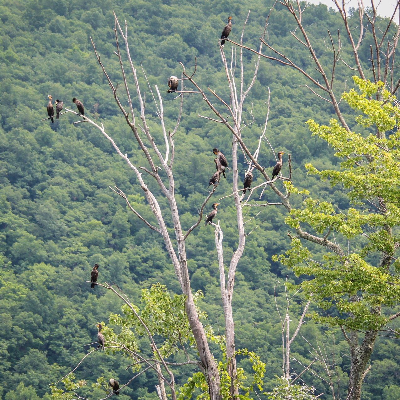Cormorants roosting at the inlet