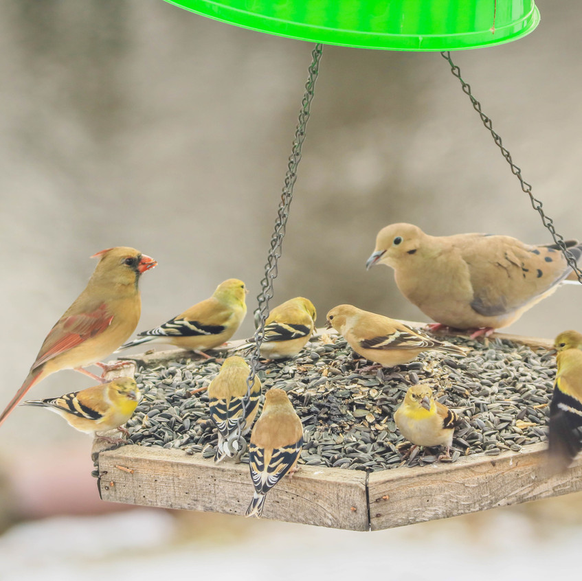 Cardinal,Goldfinches & Mourning Dove
