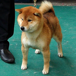 Kouga Courtrai 2014.jpg