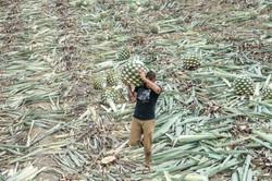 Rambling Spirits harvest