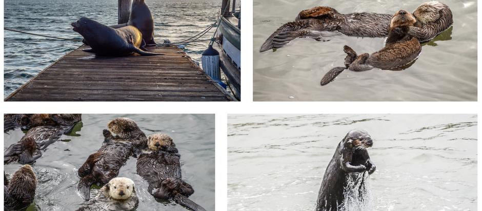 Sea Otters and Smoke Stacks