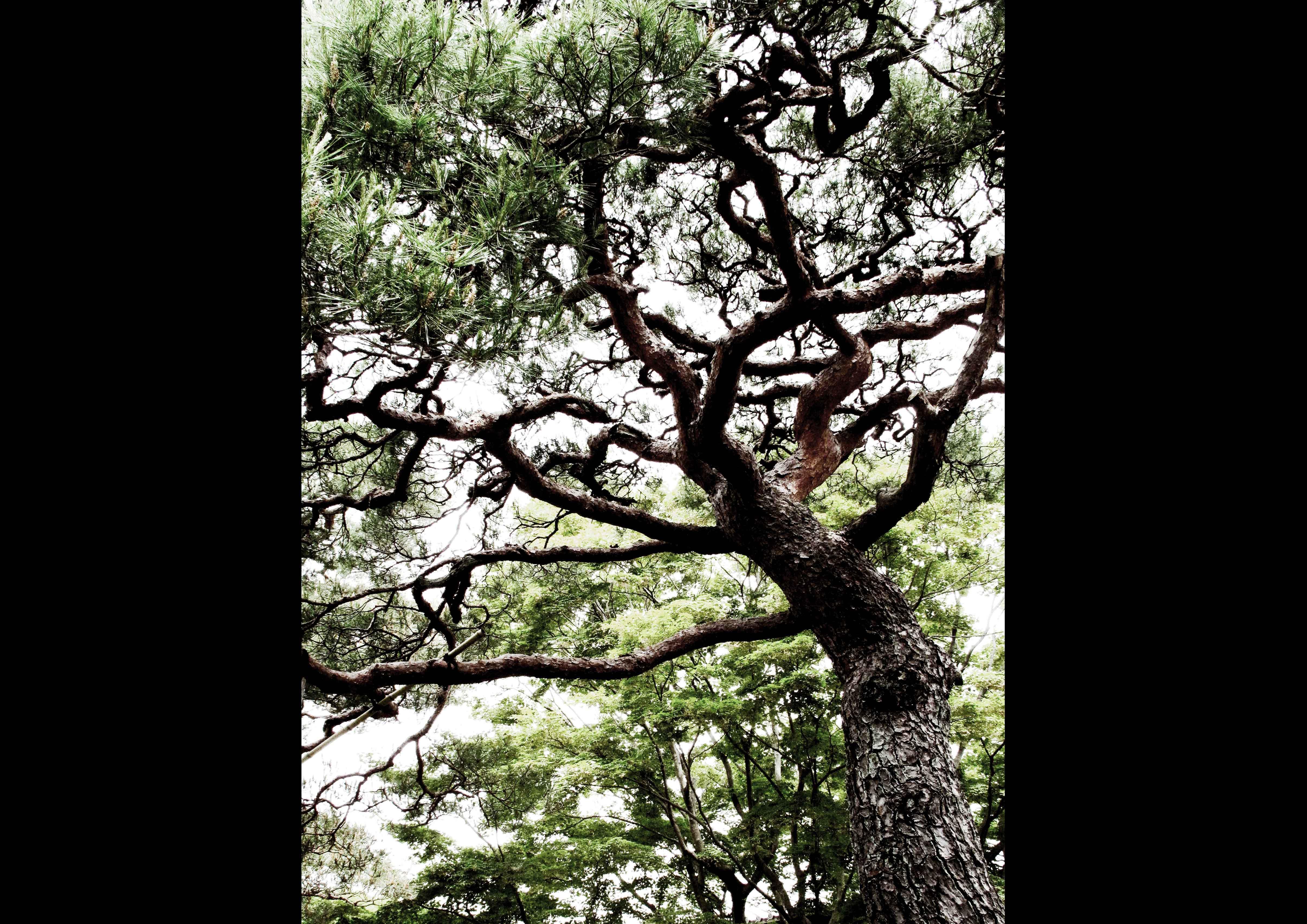松 pine tree