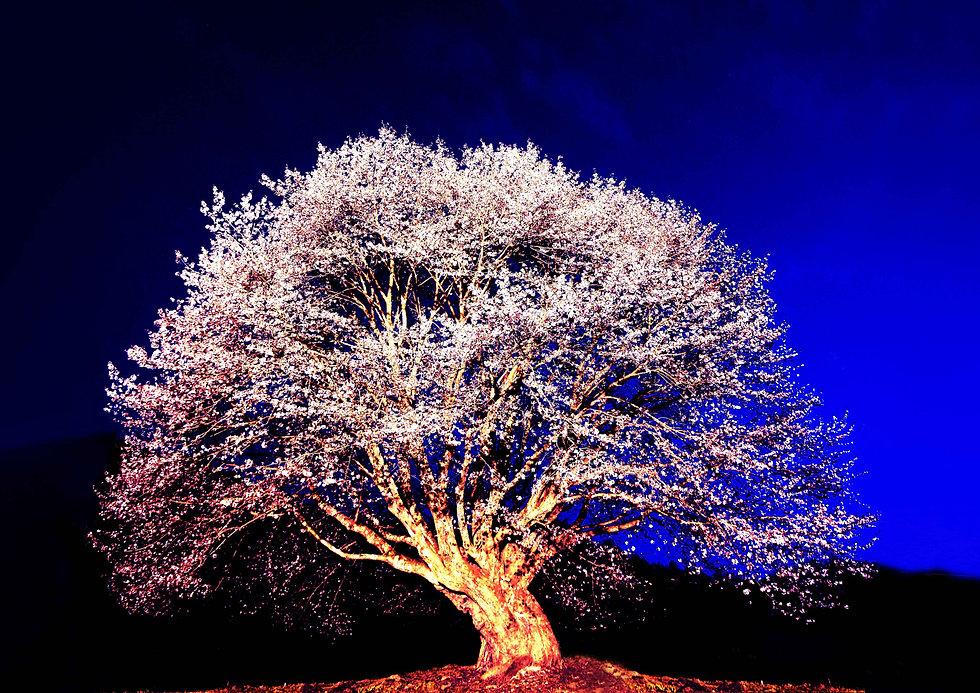 天王桜 tennou cherry tree.jpg