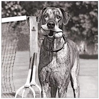 Ball Boy Greeting Card, Luxury Greeting Cards By PET TAGS DIRECT Dublin Ireland, Dog Black & White Greeting Cards Luxury,